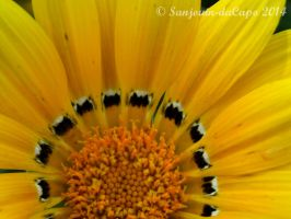 Close-up Sunflower by sanjouin-dacapo