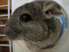 Chinchilla by dickcheese