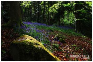 Bluebells, Castlelough Woods by PicTd