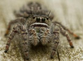 Hairy Spider Eyes by GreyVolk