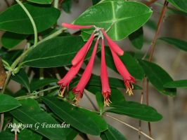 Lonicera sempervirens - Coral Honeysuckle by Fezzgator