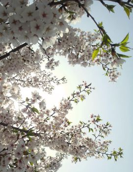 Cherry Blossoms by Lizbrid