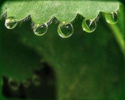 dew on lady's mantle 2 by sherln