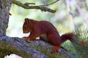 Another red squirrel by Jorapache