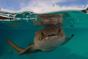 Nurse Shark by leighd