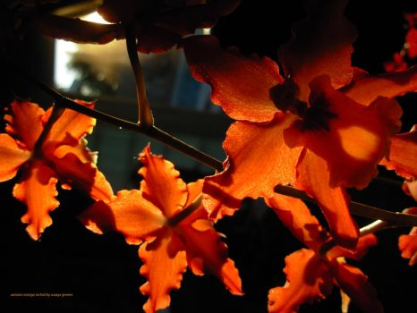 Autumn Orange Orchids by supremextreme
