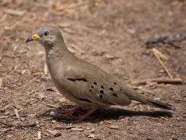 Croaking Ground-dove by perubirder