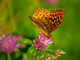 Fritillary Flutter by LAlight