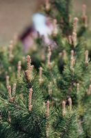 flowers 20 mountain pine by remigiuszScout