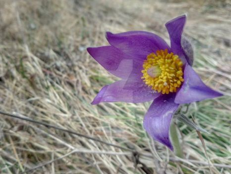 Pasqueflowers_7 by Double-of-Magrat
