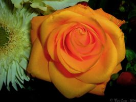 For a special real rose... by Wimley