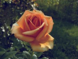 The Only Rose by Betws-Y-Coed