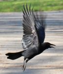 Bird 297 - majestic fly of crow by Momotte2stocks