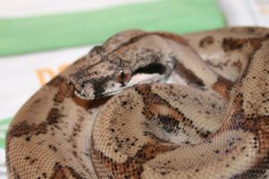 Post Shed - Salmon Boa 3 by Raah-man