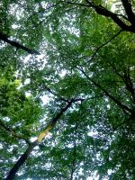 canopy of leaves by wispered