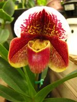 Orchid by Danika-Stock