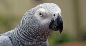 Murphy the African Grey 4 by MorrighanGW