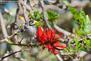 Noisy Miner - 01 by shiroang