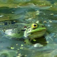 Froggy Session 6 by steppelandstock
