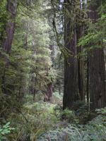 Redwood forest by bronze-dragonrider