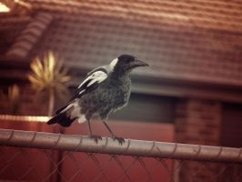 Magnanimous Magpie by jackroberts