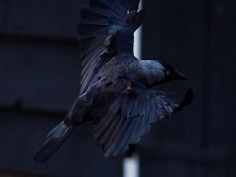 Crow Take Off by InayatShah