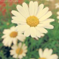Daisy Version 2 by FrancescaDelfino