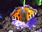 Small Tortoise Shell Butterfly on a Flower by AWKYWOLF99