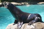 Sea Lion by WoodenOx