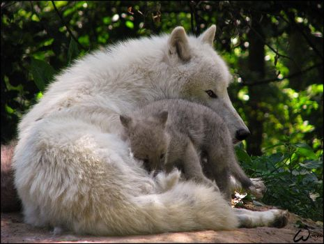 Dad and baby arctic wolf: love by woxys