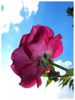 Pink Rose Sky by rlcreatif