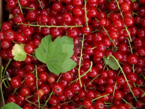 Red Currants by moniLainLP