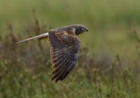 on the hunt - Montagu's Harrier by Jamie-MacArthur