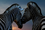 Zebra's Love by The-Crash-Mountain