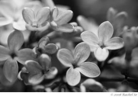 Lilacs in Black and White I by butterfly36rs