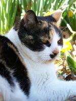 Calico in the Flowers08 by effing-stock