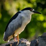 Detroit Zoo Black-crowned Night Heron 07-24-13 by BrittMartin
