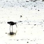 Curlew at work by Coigach