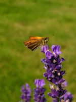 Butterfly Beauty VII by Photopathica