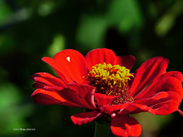 Red Zinnia by Mogrianne