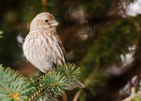 Female House Finch by JestePhotography