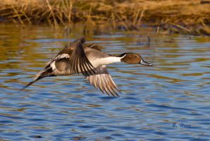 Pintail by Grouper