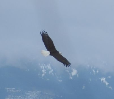 Eagle Cruising the Stilliguamish River by dcolb121