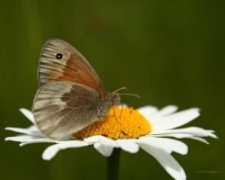 Common Ringlet butterfly by natureguy