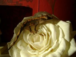 My first Crestie! by Rattus-Shannica