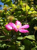 Clematis 2 by Yashafreak2709