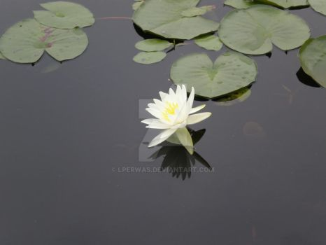 Lily Pad by lperwas