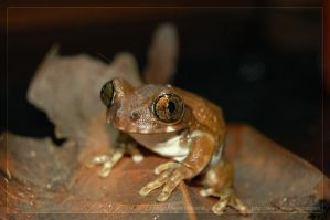 Leptopelis by theperfectlestat