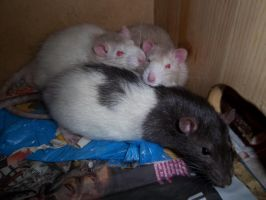 good morning rats by RatteMacchiato