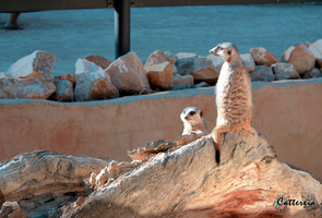 Meerkats by Cattereia